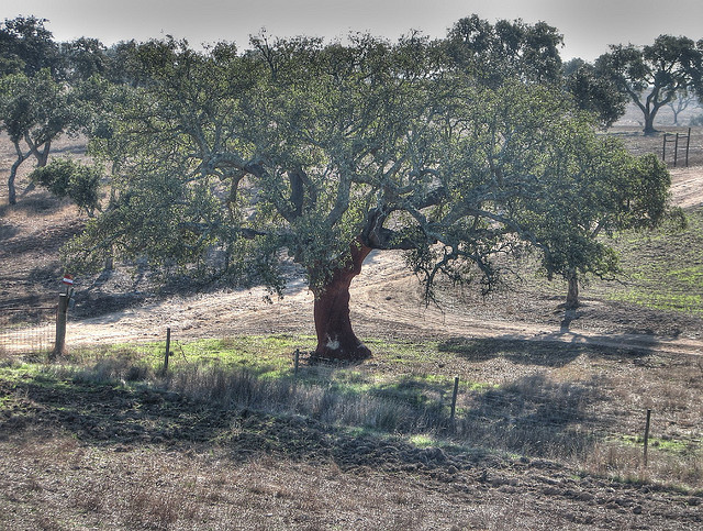 Alantejo Cork Oak tree