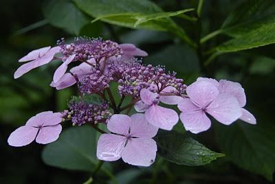 Derrynane Garden hydrangea