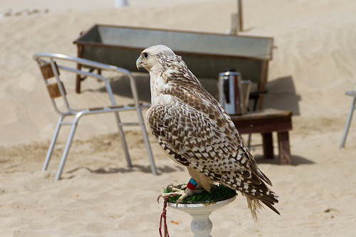 Falcon in the desert