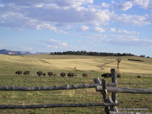 Bison in the wide open spaces