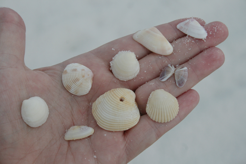 Shells found on Pensacola Beach