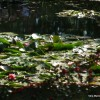 Water Lilies in Monet's Garden