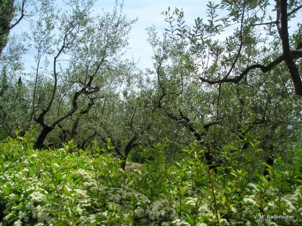 St. Francis' olive grove, Assissi