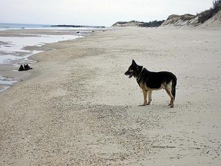 Contemplative German Shepherd