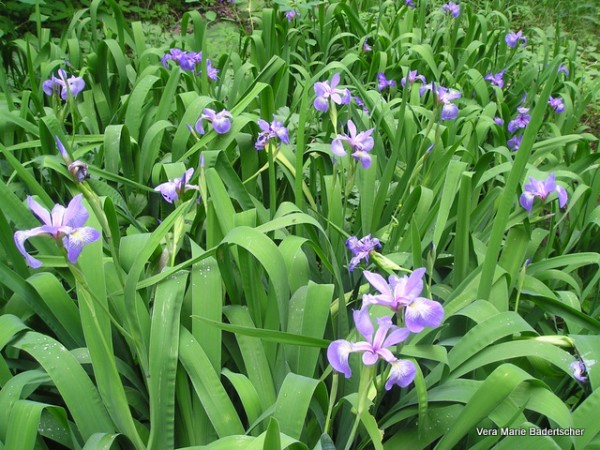 Wild Irises in Bucks County, Pennsylvania