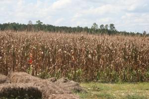Lost in the Corn Maze