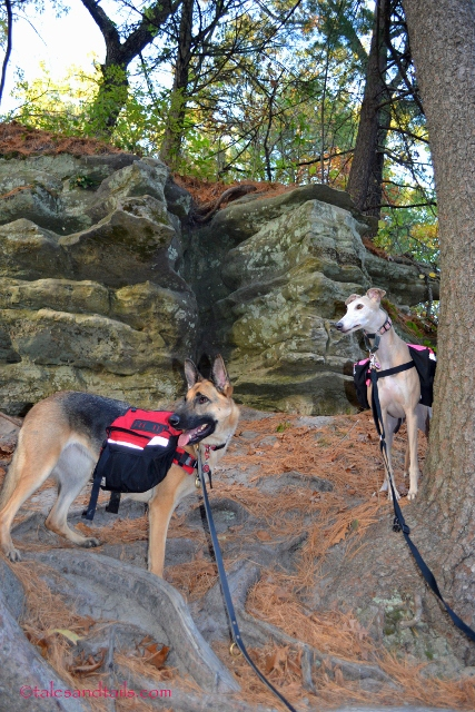 German Shepherd and Greyhound Hiking