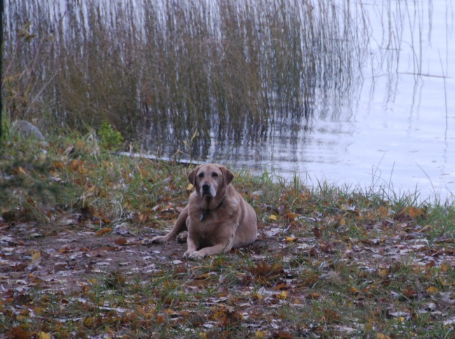 Dog enjoying the leaves by the shore.