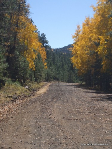 Aspens along road on Apache Indian Reservation, White Mountains