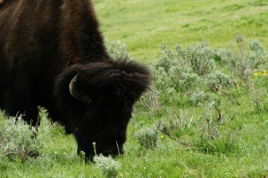 Buffalo on Oregon Trail