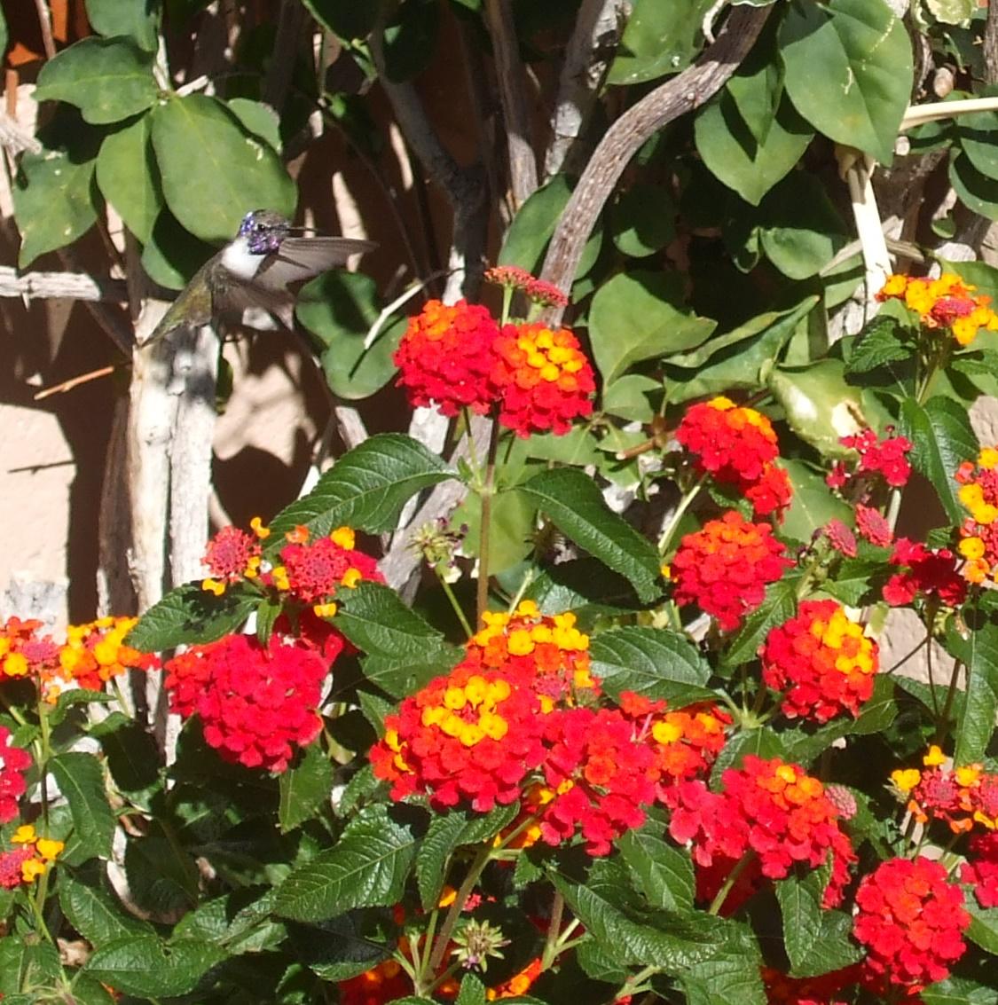 Hummingbird and verbena