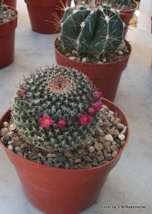 Cactus with tiny flowers