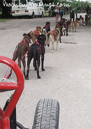 The Tourist's View of the Jamaica Sled Dog team.