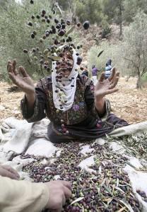 Palestine olive grove