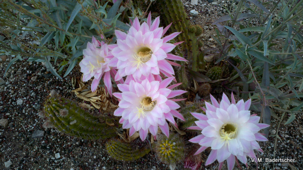night-blooming cactus flowers