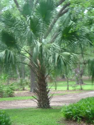 swamp cabbage palm