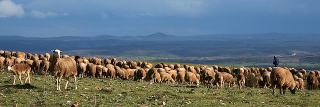 Castilian Spain Sheep