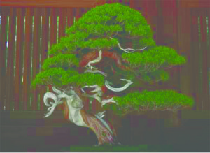 Japan Guidebook Bonsai