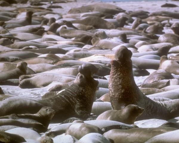 San Miguel Island seals