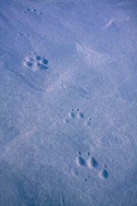 Artic wolf tracks