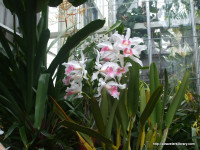 Biltmore Conservatory orchids